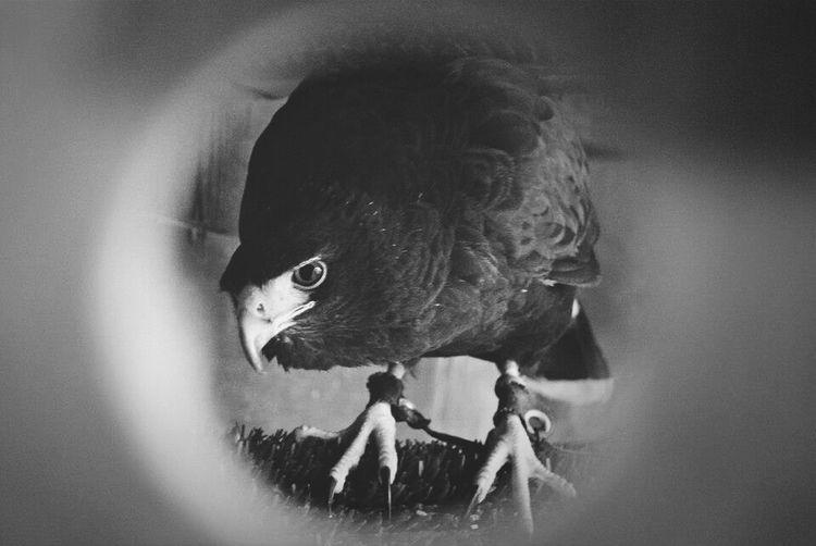 He sees you. Falconry Harris Hawk  Arnie First Eyeem Photo