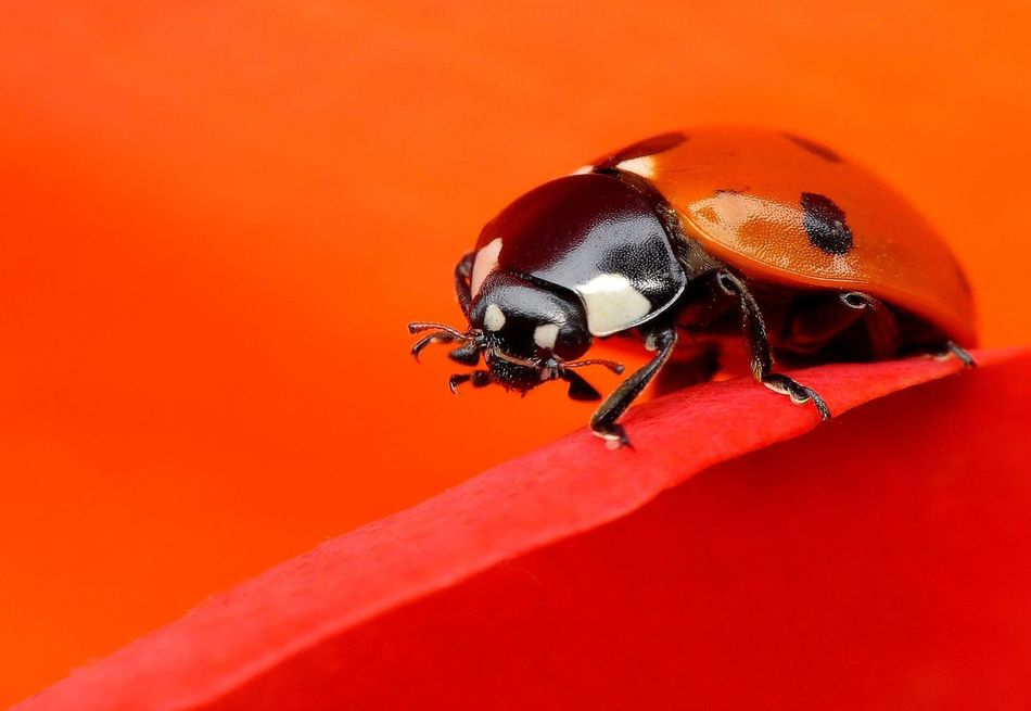 Ladybug Animal Themes Animal Wildlife Animals In The Wild Bug Close-up Insect Ladybug Luck Macro Photography Marienkäfer Nature One Animal Orange Orange Color Red Symbolism Wildlife