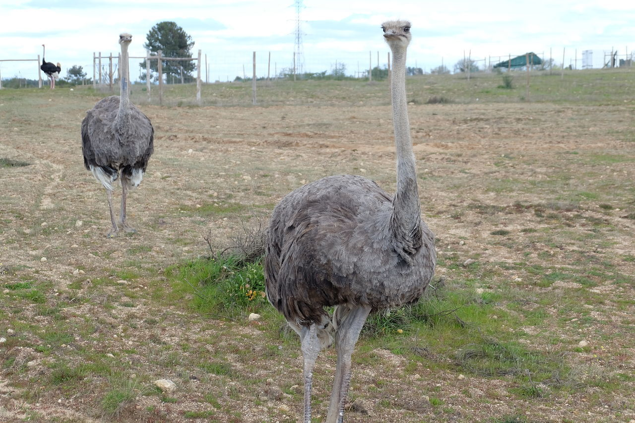 Ostriches On Landscape