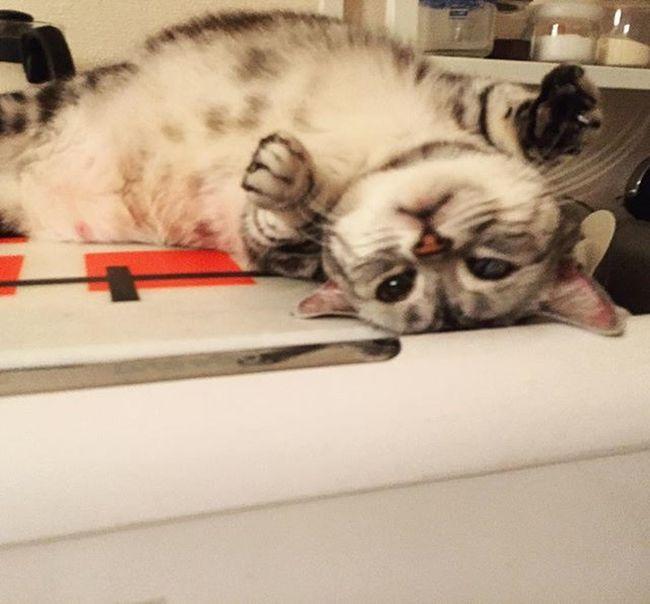 Cat Neko ねこ 猫 ねこ Cats アメリカンショートヘアー アメショ Americanshorthair ズズ ズズ子 Zuzu ズズっぺ シルバータビー 冷蔵庫の上で甘えるズっぺで今晩は〜😚😽💕
