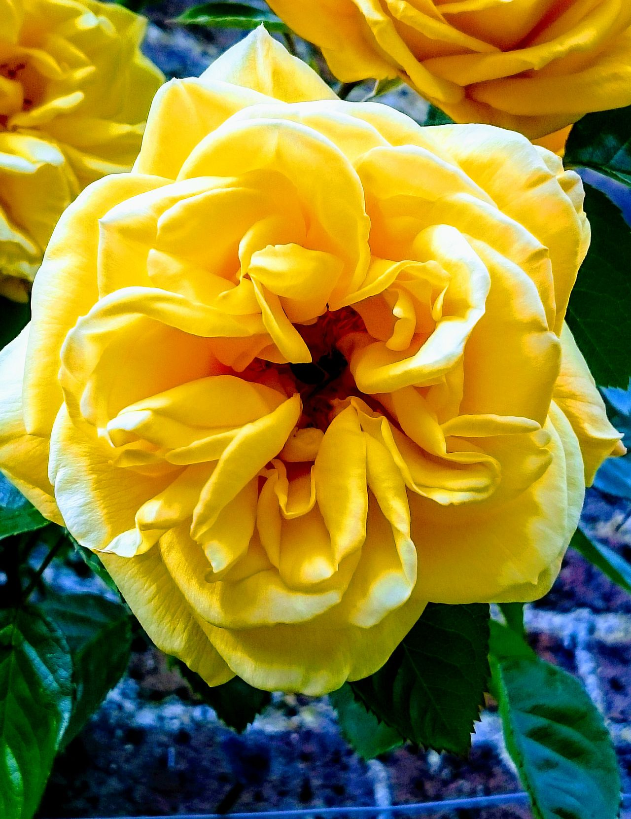 Flower Flower Head Yellow Petal Outdoors Beauty In Nature Yellow Flower Yellow Rose Rose🌹