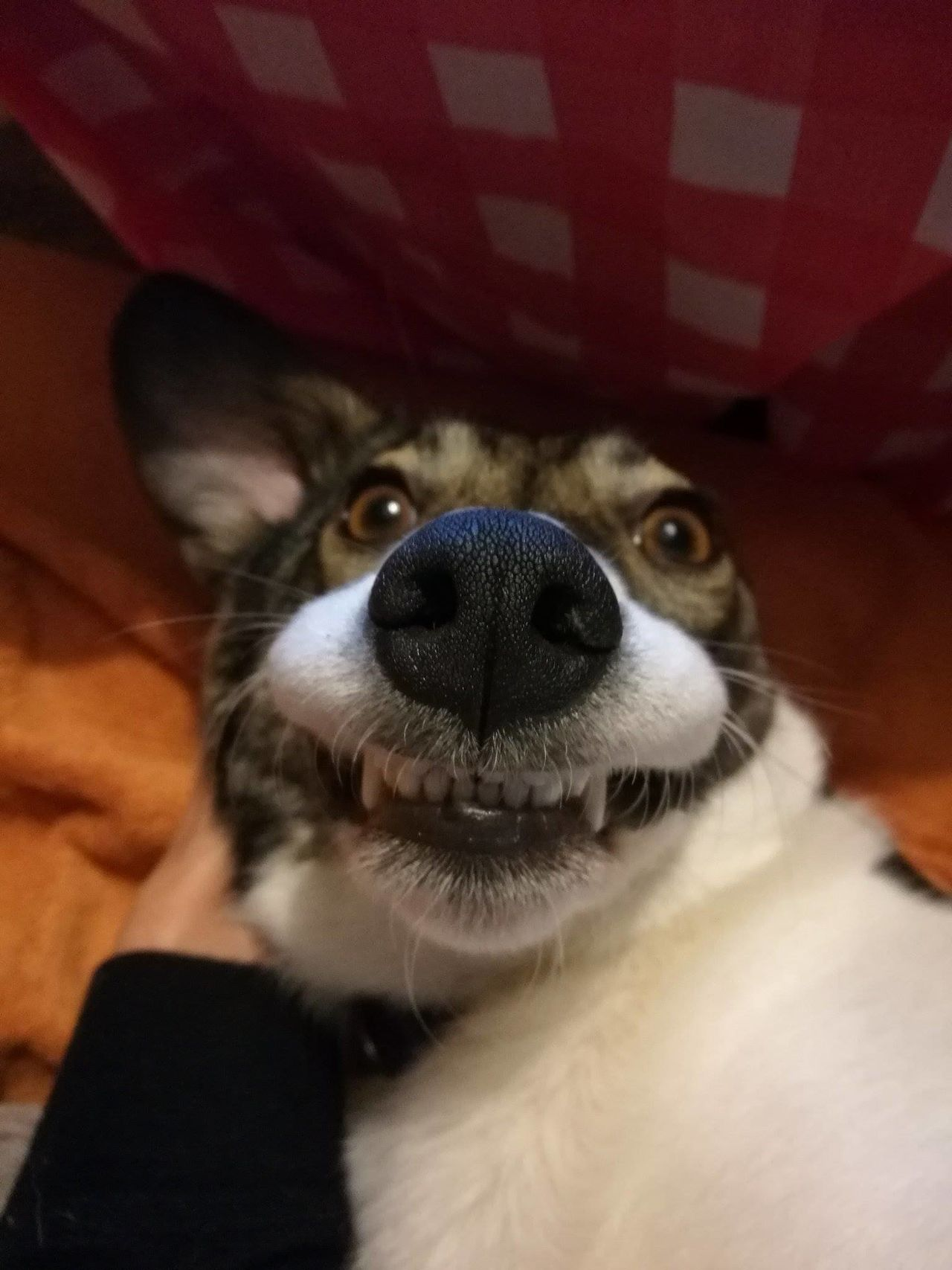 Animal Themes Boston Terrier Close-up Cute Pets Day Dog Domestic Animals Funny Dog Funny Faces Indoors  Looking At Camera Mammal No People Nose One Animal Pets Portrait Red Surprised Teeth