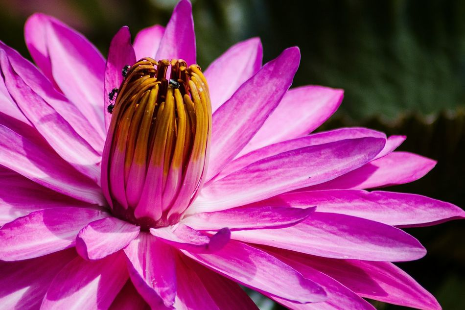 Pink Color Insect Water Lilies Flower Head Nikon D5100  Eyeem Flowers Gallery Beauty In Nature Flower Petal Pollen No People Day