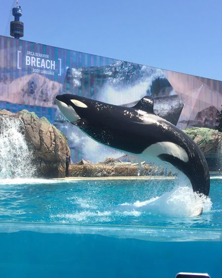 Seaworld San Diego Seaworld Killer Whale for me Shamoo 🐳 Without Filters Just Pic No Filter, No Edit, Just Photography
