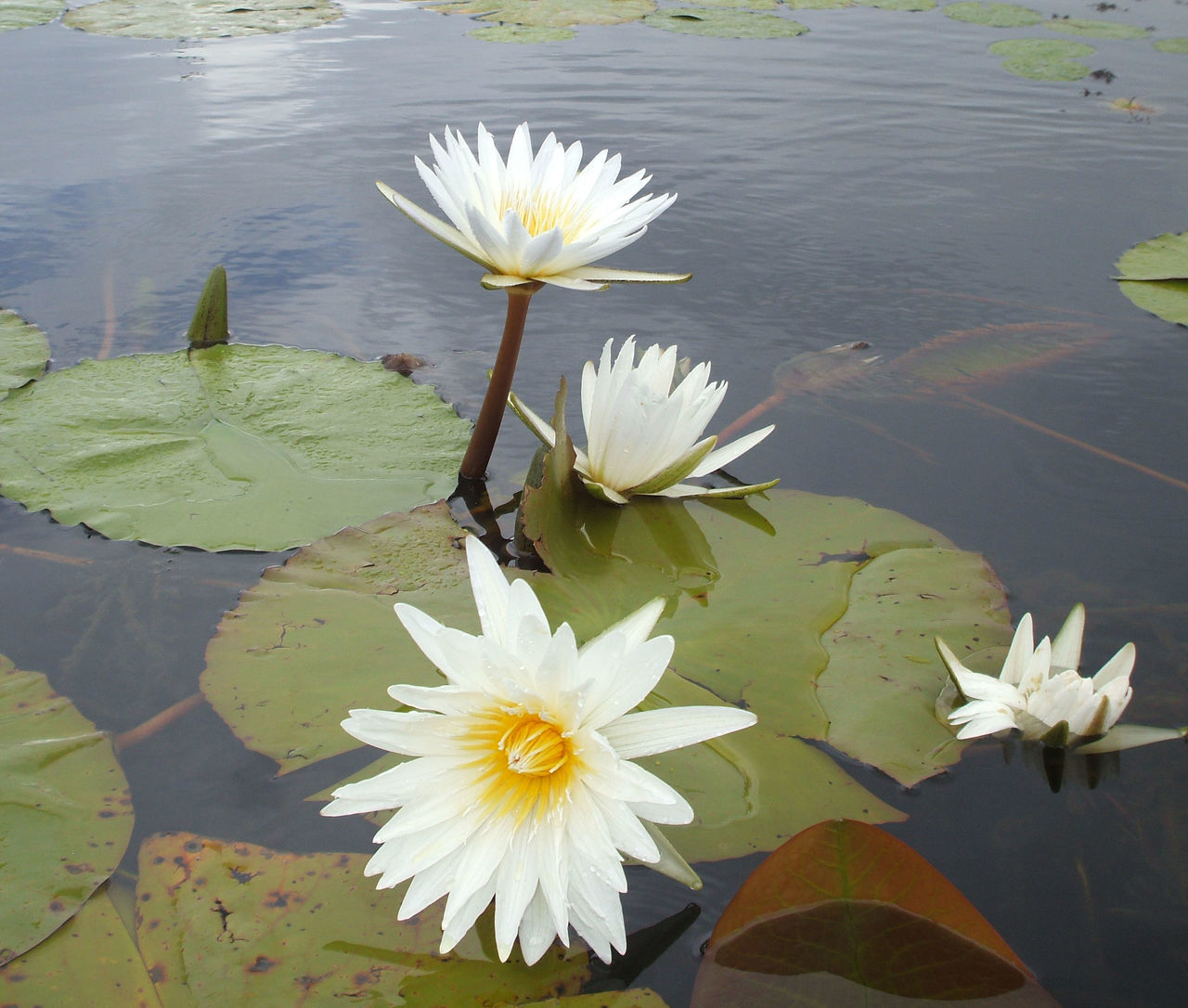 LOTUS FLOATING ON WATER LILY IN POND