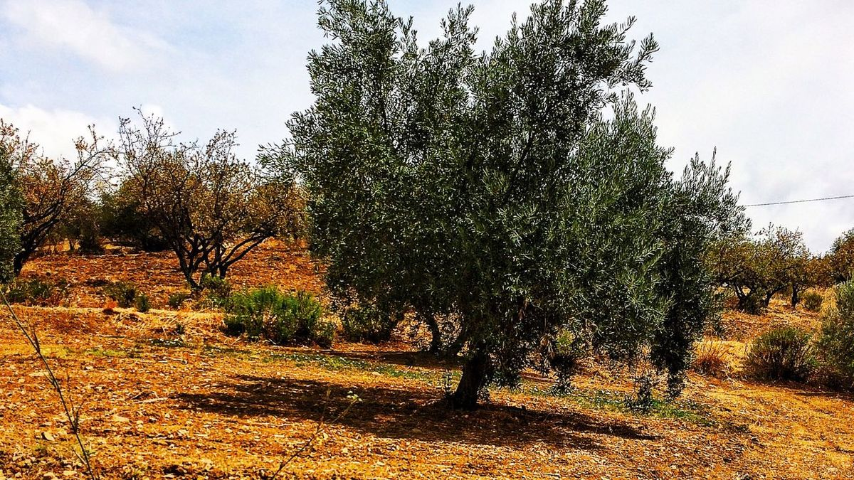 Olive Tree And Shadowlands