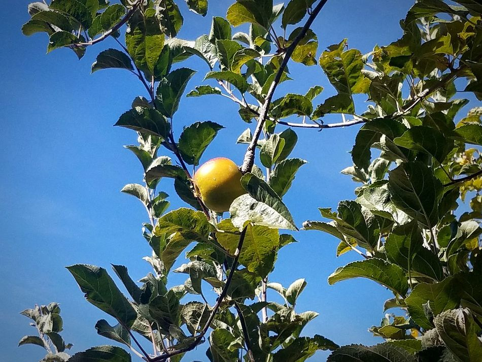 Apple Hill Fresh Produce Fruit Tree Sky Branch Clear Sky Agriculture Beauty In Nature Apple Family Farm Delicious Close-up Cali Summertime