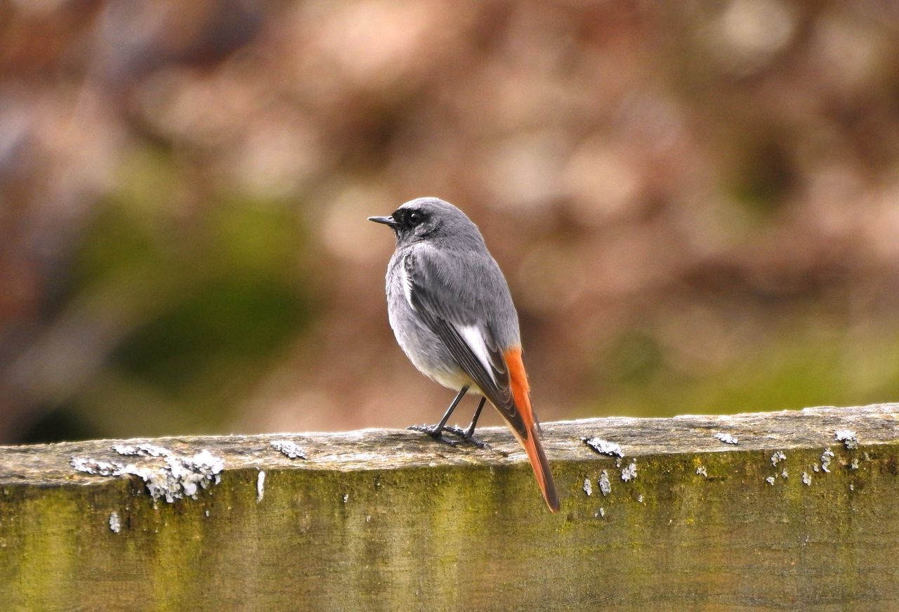 Animal Themes Animals In The Wild Bird Close-up European Redstart Focus On Foreground Nature No People One Animal Outdoors Wildlife Wood - Material Wooden Post