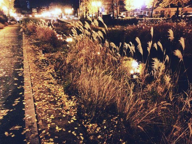 Silvergrass Stream Scenery Night Fall Autumn Yellow