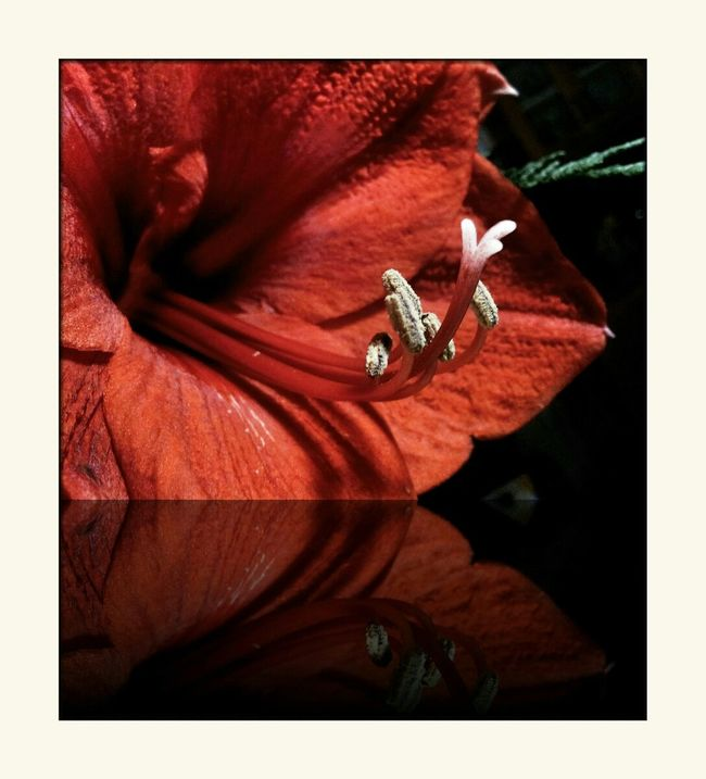 Wish a nice 3rd Advent Sunday Amaryllis Flowers Playing With Apps
