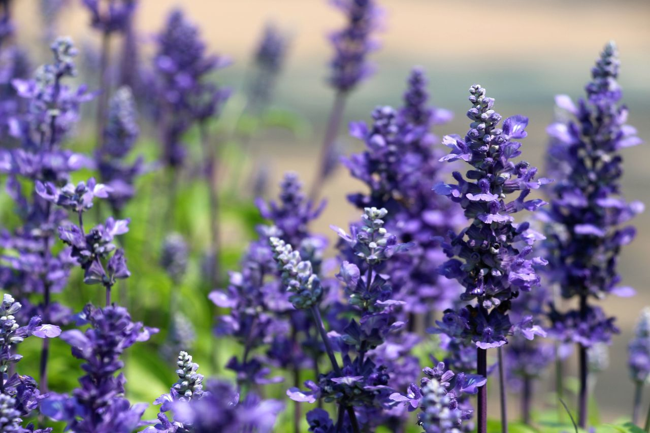 Beauty In Nature Blooming Blue Flowers Close-up Field Flower Flower Head Fragility Freshness Growth Lavender Nature No People Outdoors Plant Purple Selective Focus