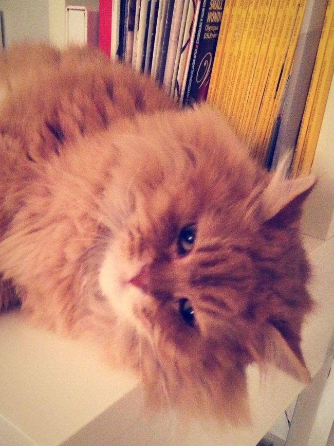 This Persiancat has a name. And his name is George Michael Cute Pets Ginger Cat
