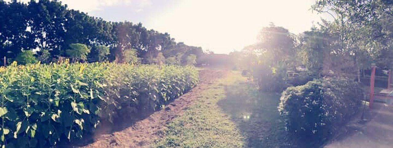 sunlight, field, plant, agriculture, tree, outdoors, nature, day, rural scene, food and drink, no people, growth, sky, freshness