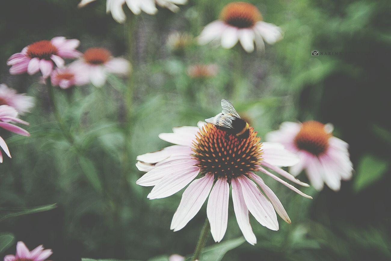 Flowers Bumblebee Narime