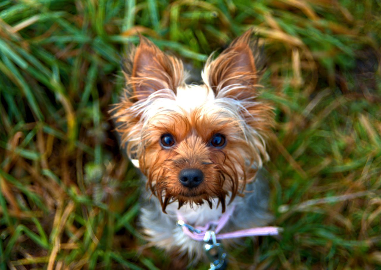 Yorkie Dog Pets Animal Themes Looking At Camera Grass One Animal Domestic Animals Portrait Mammal No People Outdoors Day Cavalier King Charles Spaniel
