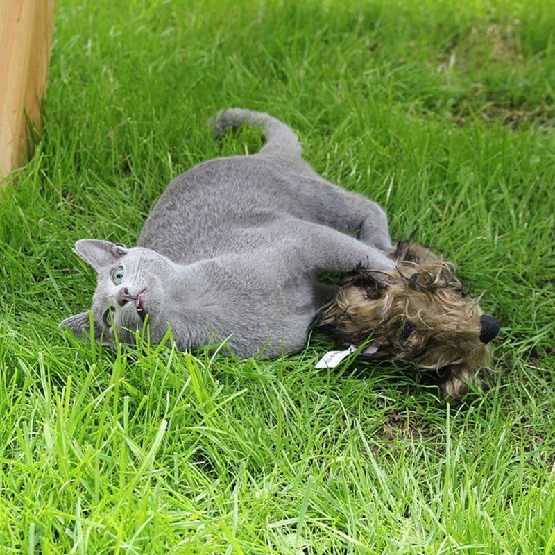 No toy is too big! 😼😸😻 Catsofinstagram Kittensofinstagram Russianbluesofinstagram Russianbluekitten RussianBlue Russianbluecat Smartcat Instacat Instakitty Kittens Greycat Silvercat Bluecat Blue Cat_features ロシアンブルー Propetsfeature Rosyjskiniebieski Nofilter 550d