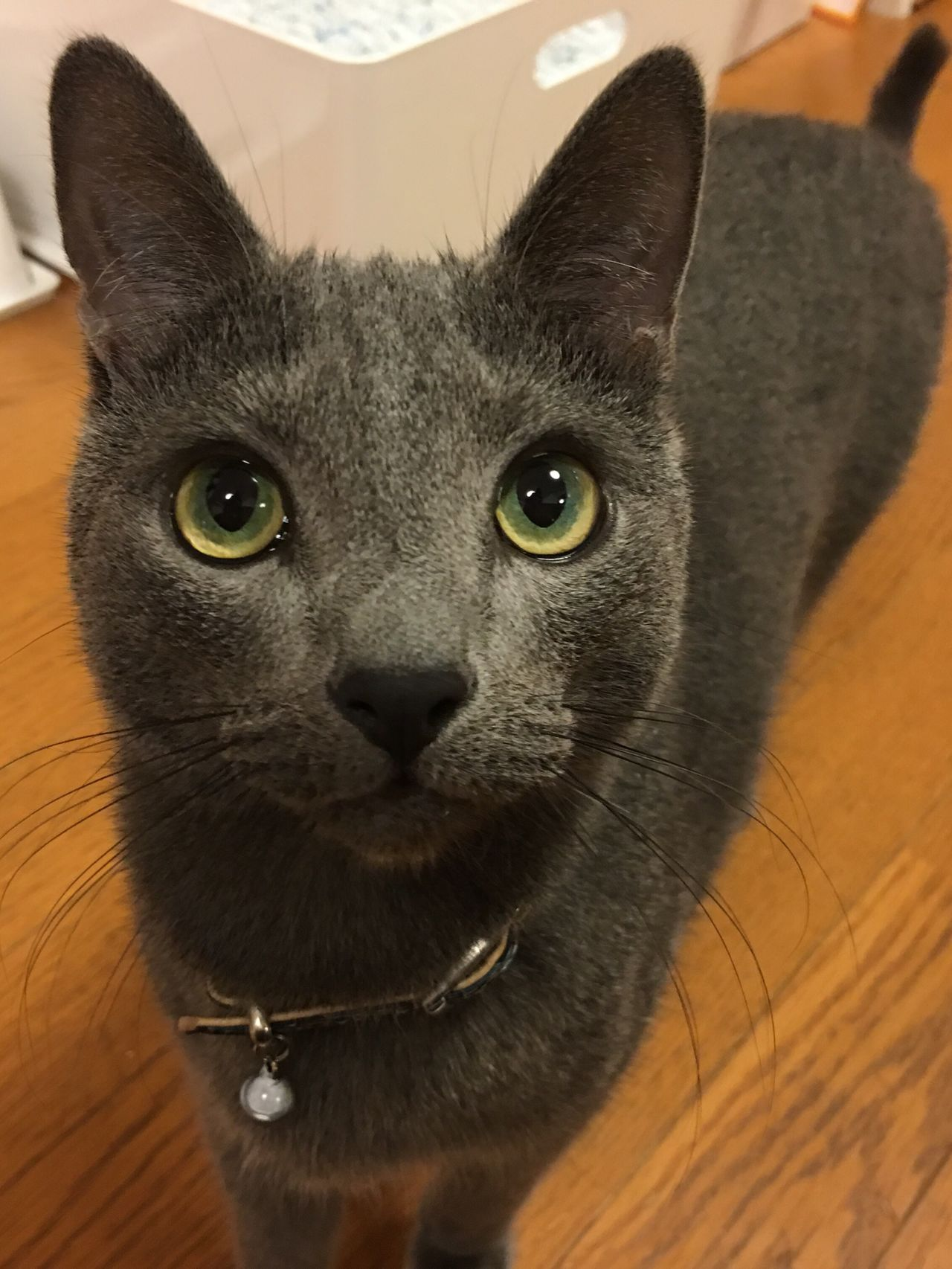 Mycat Lovely Cat RussianBlue Kitten