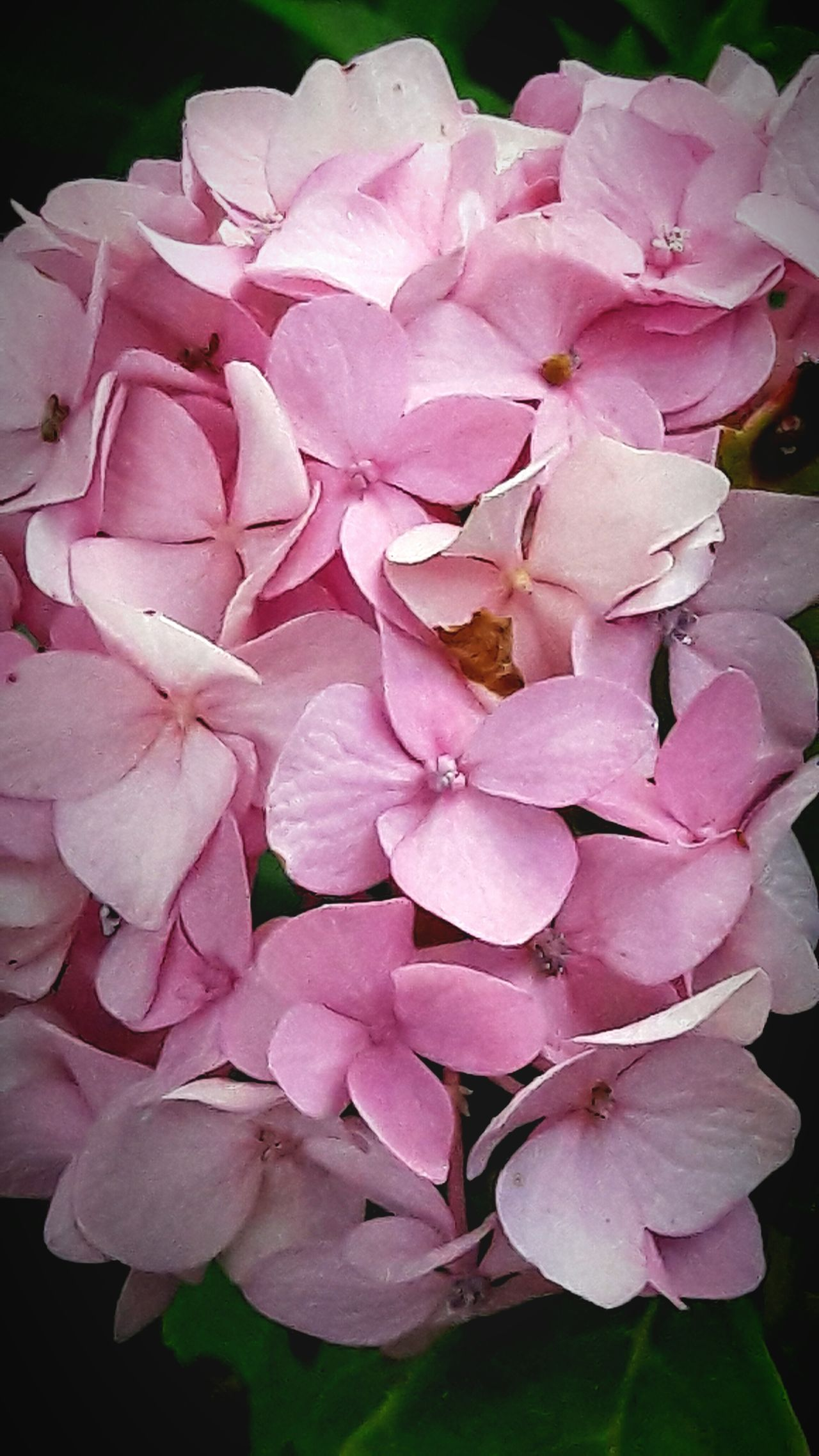 Love hydrangeas Pink Color Flower Petal Nature Beauty In Nature No People Plant Flower Head Close-up Fragility Outdoors Day In My Neighborhood EyeEm Nature Lover Popular Photos Freshness