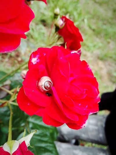 Red Flower Nature Plant Petal Rose - Flower Flower Head Day Outdoors Beauty In Nature Fragility Animal Themes