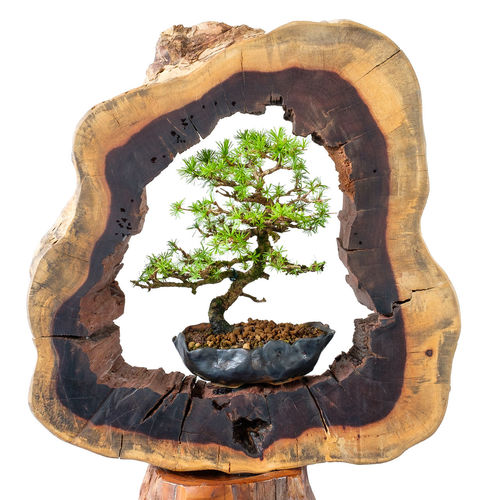 Little larch bonsai tree with wooden frame Wood Bonsai Close-up Day Frame Growth Indoors  Larch Larix Larix Decidua Nature No People Old And Young Plant Tree Trunk White Background White Isolated Wooden