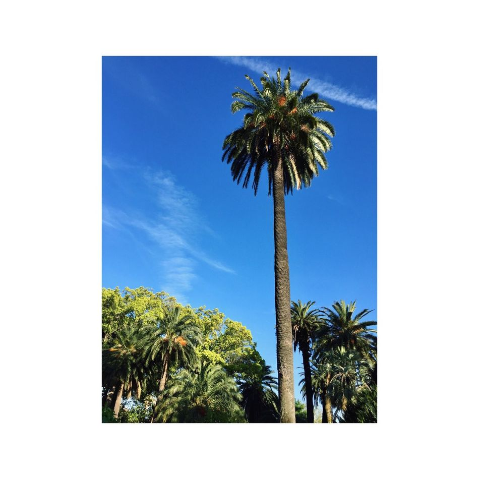 Palm Tree Tree Sky Blue Tree Trunk Low Angle View No People Palm Frond Day Outdoors Tranquility Clear Sky Nature Beauty In Nature Vacations Scenics Blue Sky