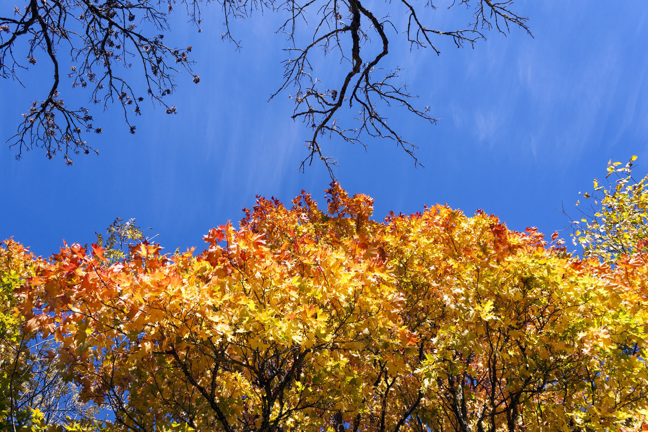 Autumn Autumn Colors Autumn Leaves Beauty In Nature Branch Close-up Day Growth Low Angle View Nature No People Outdoors Sky Tree