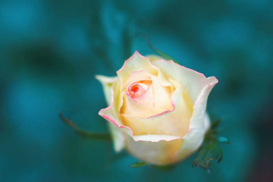 Flower Nature Flower Head Beauty In Nature Freshness Fragility Petal Close-up Growth Outdoors Day Rose🌹 Macro Macro Photography Striving For Excellence PracticeMakesPerfect Catch The Moment Garden Photography Garden Macro Beauty