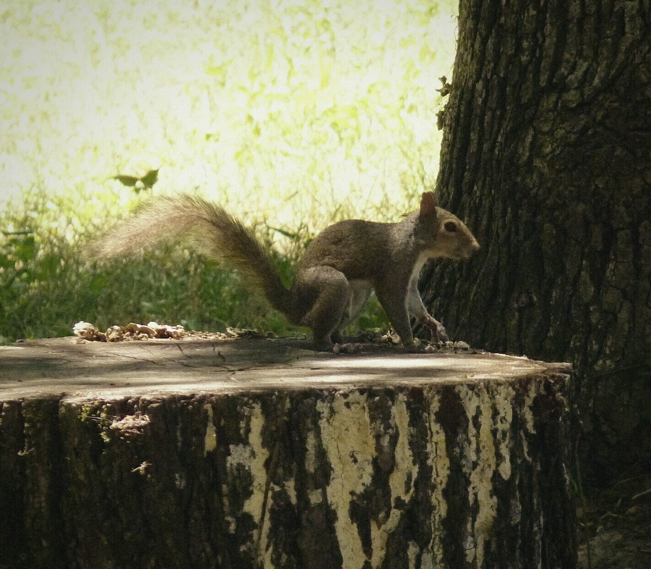 Squirrel Tree Stump Thisguy Nature_collection Treebark Animal Day Angles Of Nature Passing Through