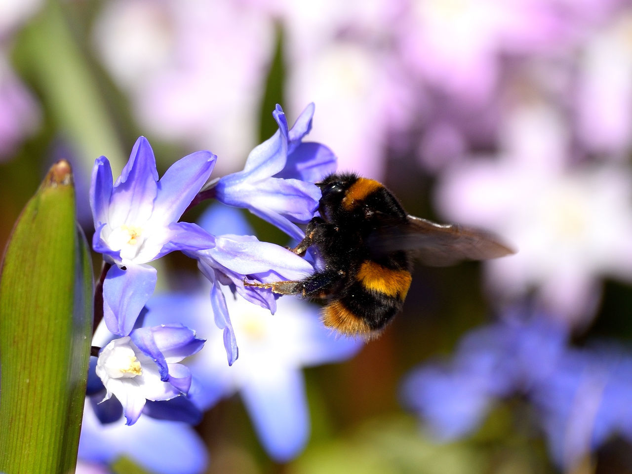 Animal Themes Animals In The Wild Beauty In Nature Bee Bumblebee Buzzing Close-up Colourful Flower Flying Focus On Foreground Fragility Freshness Growth Insect Mauve  Moment In Time Nature One Animal Outdoors Petal Pollination Pollinator Purple Wings