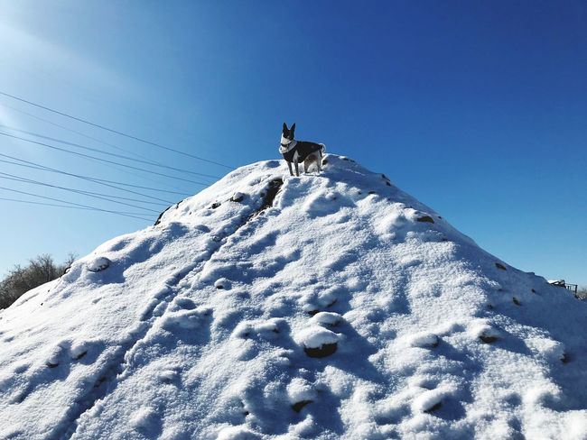 Jaxson king of the hill Snow Animal Themes Low Angle View Cold Temperature One Animal Winter Day Clear Sky Nature No People Animals In The Wild Outdoors Pets Sky Mammal Domestic Animals