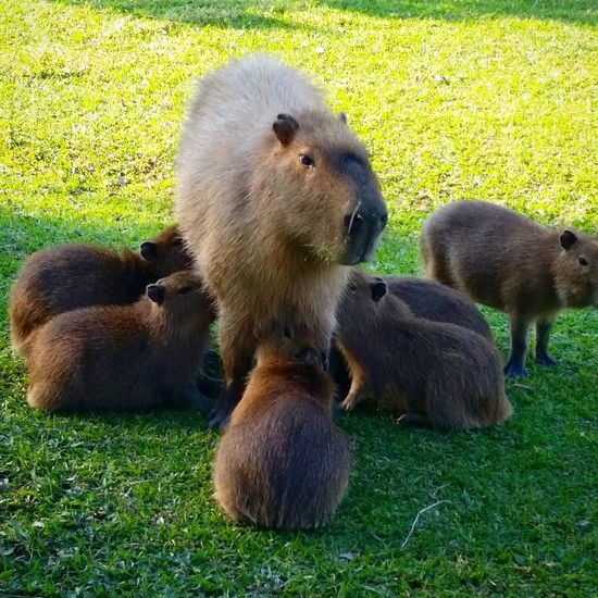 Animals In The Wild Grass Animal Wildlife Animal Themes Green Color Day Young Animal Nature No People Outdoors Mammal Water Bird Capibara Capibar Perspectives On Nature