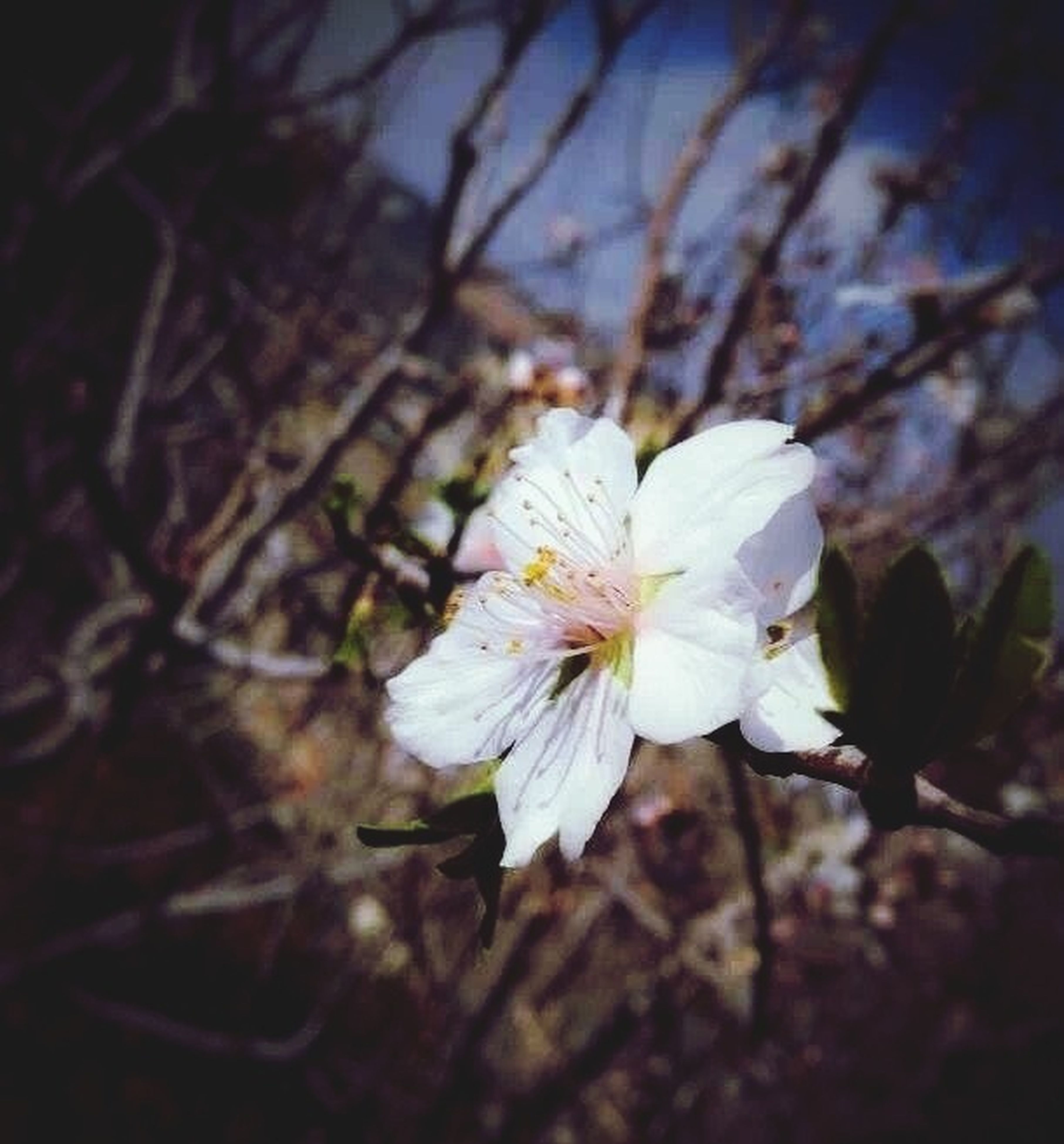 flower, petal, fragility, freshness, flower head, growth, white color, beauty in nature, close-up, blooming, nature, focus on foreground, in bloom, pollen, blossom, stamen, plant, single flower, outdoors, no people