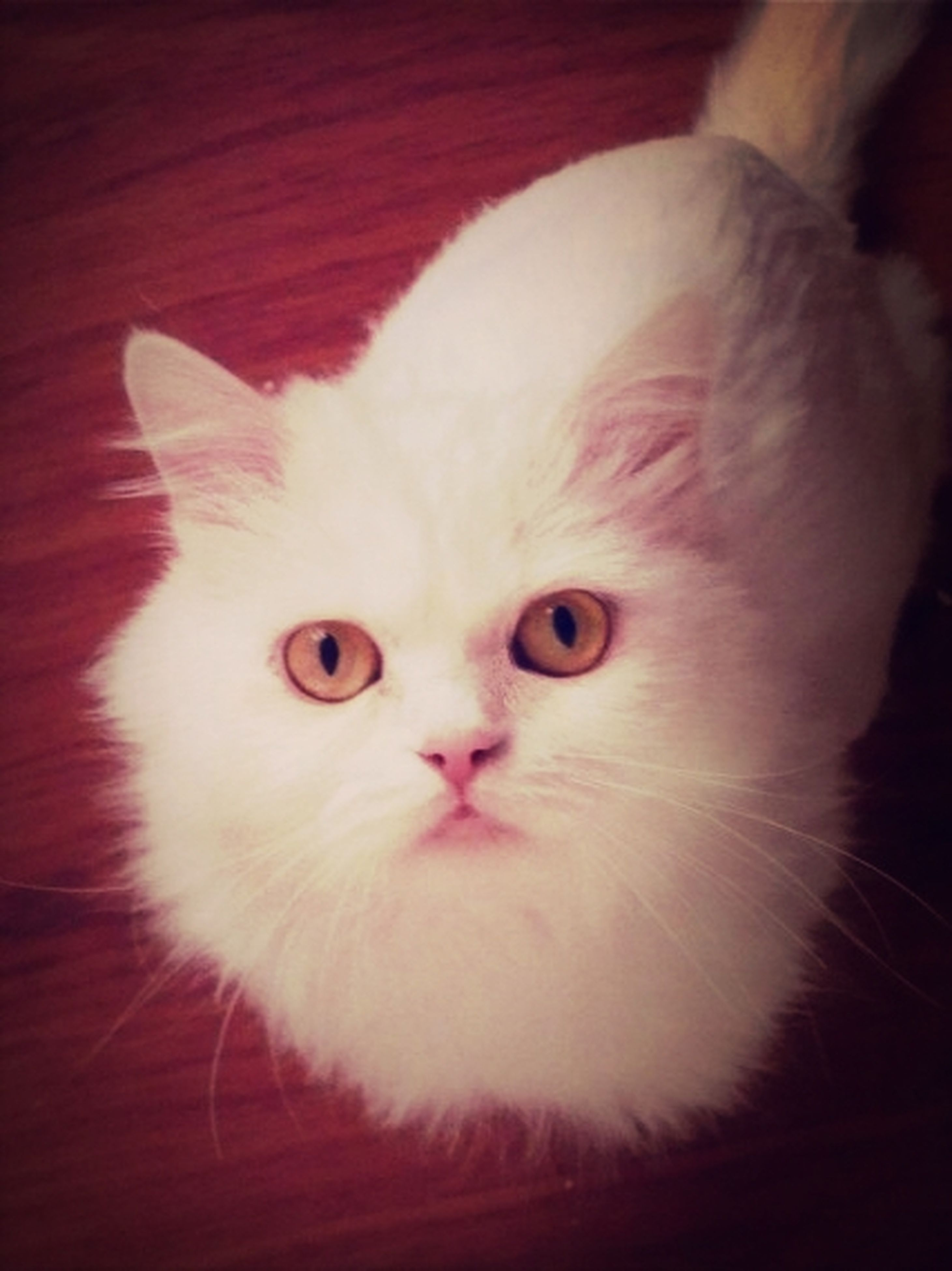 domestic cat, indoors, cat, pets, domestic animals, animal themes, one animal, feline, whisker, looking at camera, portrait, close-up, white color, mammal, animal eye, animal head, staring, home interior, cute, front view