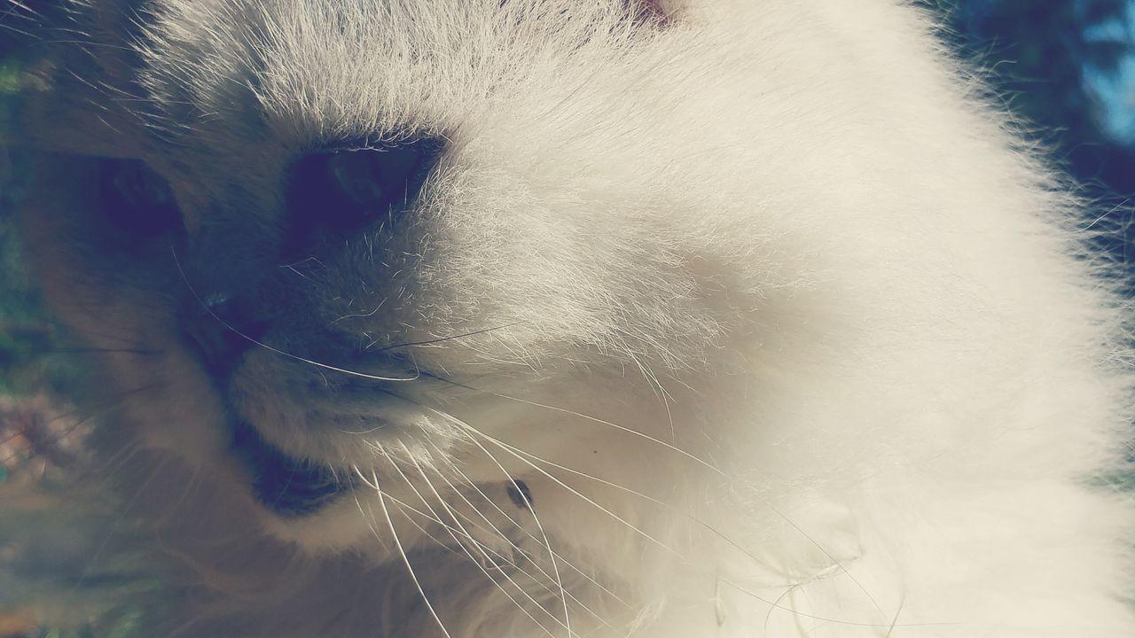 My Garden My Cat Freddie Feline Cat Pet Flat Face Persian