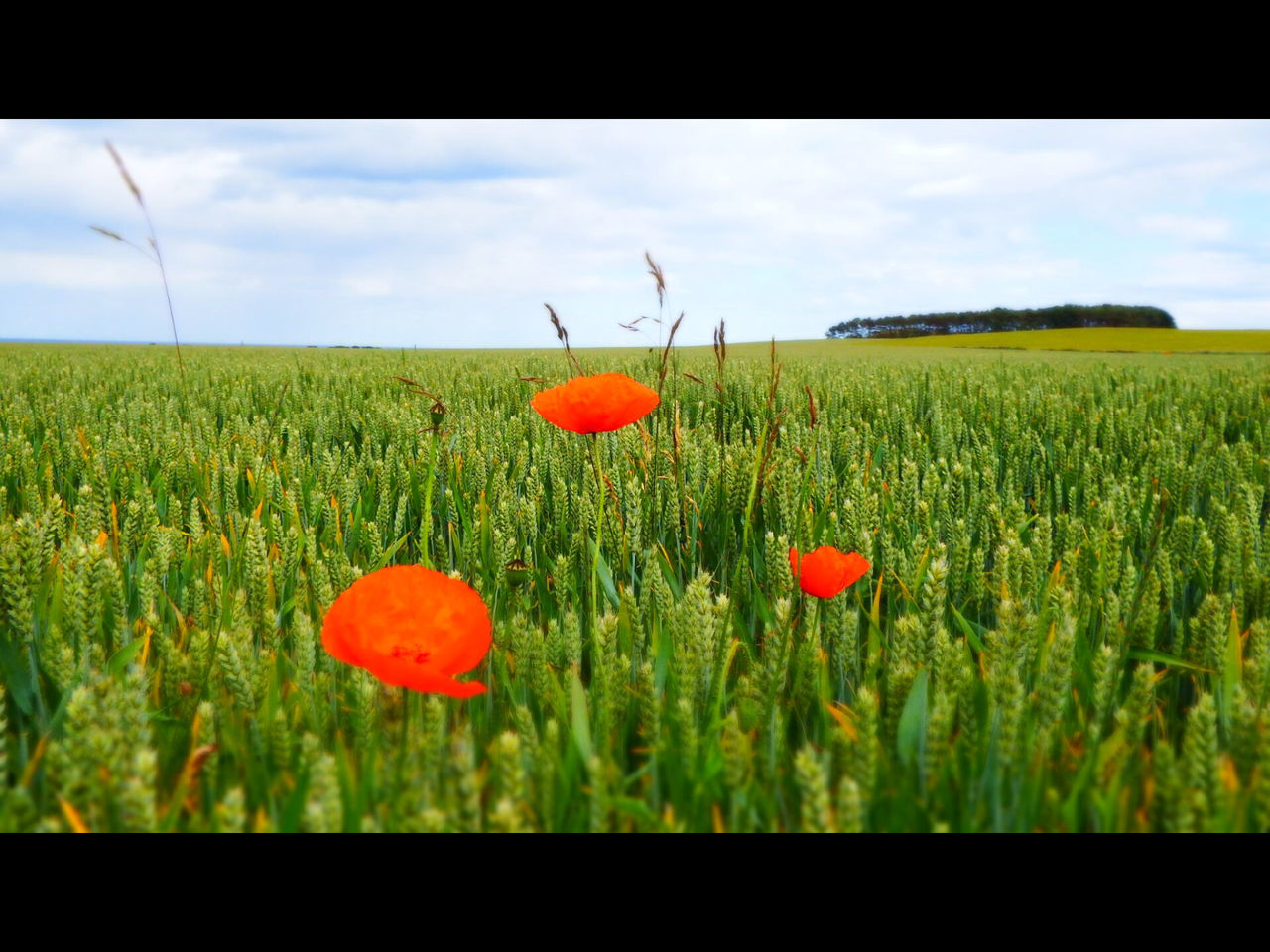Flowers Field Poppies