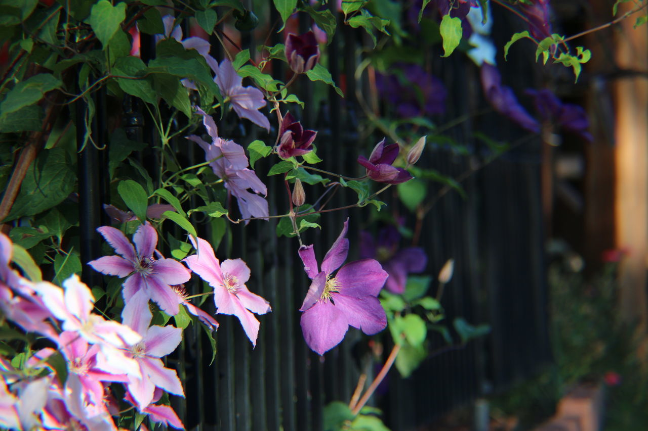 Clematis Clematis Flower Flower Fragility Freshness Nature Growth Purple Beauty In Nature No People Petal Plant Leaf Outdoors Day Close-up Flower Head Rhododendron Horizontal