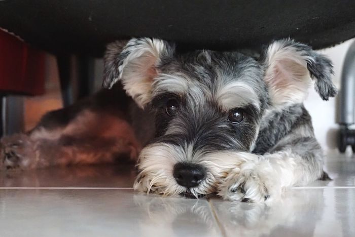 Pets Dog Mammal Domestic Animals One Animal Animal Themes Looking At Camera Portrait Animal Hair Cute Indoors  Lying Down Relaxation No People Close-up Puppy Day Schnauzerlife Schnauzerlove Schnauzer