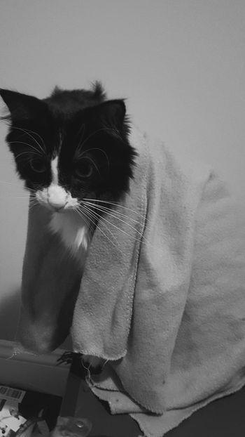 Cats Adorable Cat Lovers Black And White Blankets Snuggles Bedtime Pets EyeEm Best Shots - Black + White Petslife Petsofeyeem First Eyeem Photo EyeEm Animal Lover Galaxy S7 Gs7