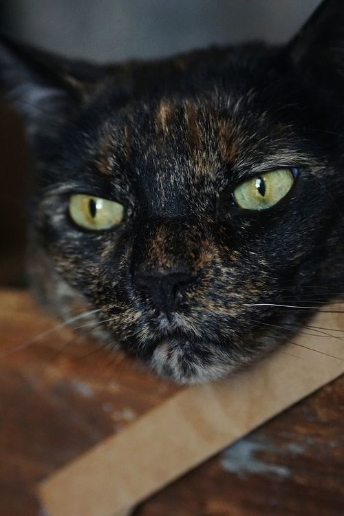 Our cat, Amy. Cat Eyes Cat Watching Cat Photography Cat Kitty Cat Kitty Tortoiseshell Cat Tortie