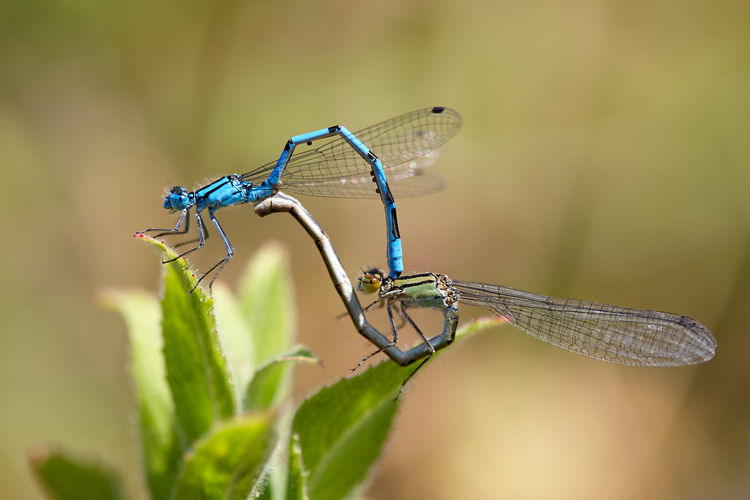 A pair of Azure Damselflies mating in the UK Spring Azure Damselfly Close-up Damselflies Damselflies Mating Damselfly Insect Mating Mating Pair Of Insects