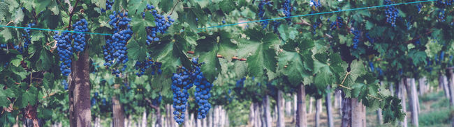 Agriculture Beauty In Nature Day Farm Flying Fragility Grapefruit Grapes Green Color Growth Nature Panoramic Photography Plant Rural Scene Scenics Tranquil Scene Tranquility Vineyard Vineyard Cultivation Wildlife Wine