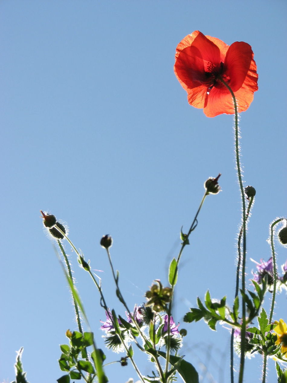 Poppy Poppy Flowers Poppy Love Poppies Blooming Red Poppy Poppies  Wild Flowers Flower Collection Nature_collection Light Blue Sky Copy Space Offset Poppies In Bloom Poppypower Flora Andalucia Rural