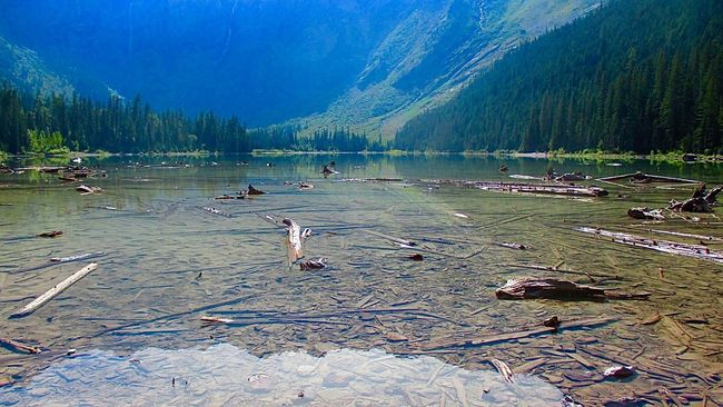 National Glacier Park Animal Themes Animals In The Wild Avian Beauty In Nature Flying Idyllic Lake Lakeshore Majestic Mountain Nature Non-urban Scene Outdoor Photography Scenics Sky Swimming Tranquil Scene Tranquility Tree Trunk In The Water Water Water_collection Wildlife