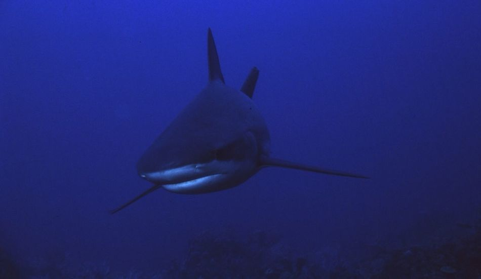 Beautiful stock photos of shark, Animal Themes, Animals In The Wild, Beauty In Nature, Blue