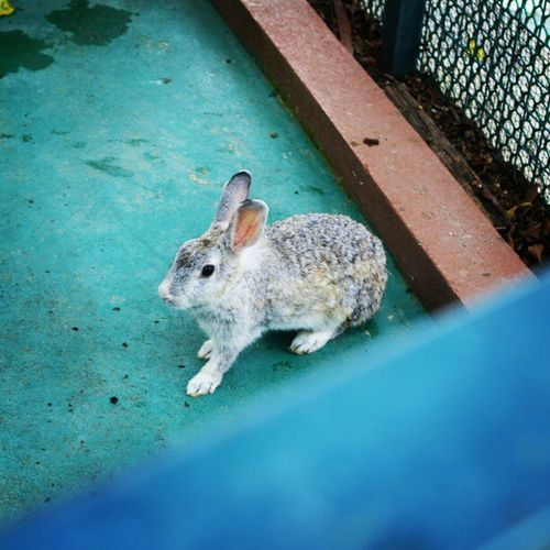 Single rabbit..cute :p Asterinasazalie Igmsia Igmalaysia Instarabbit instamalaysia instacute instamalaysia arnab rabbit comel cute pictureoftheday picture lifewithcolors awesome awesome alone instaasterinasazalie