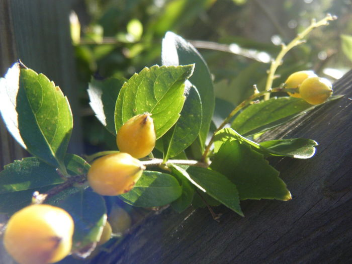 Berries Branch Green Green Leaves Leaves Sun Sunshine Sunspot Yellow