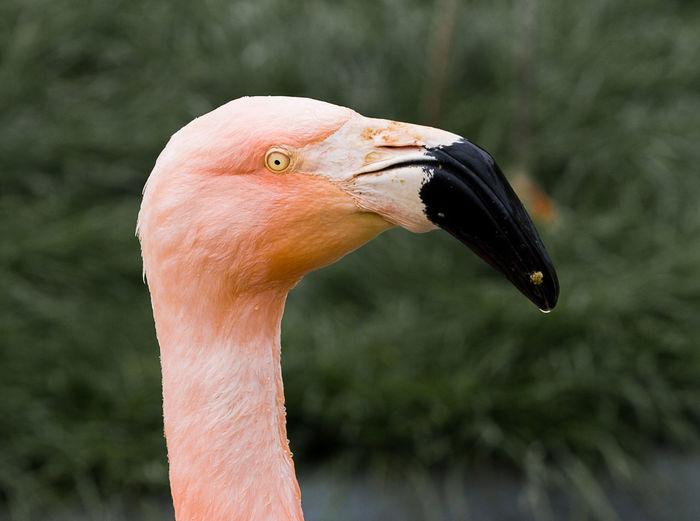 Animal Themes Animal Wildlife Animals In The Wild Beak Bird Close-up Day Flamingo Focus On Foreground Nature No People One Animal Outdoors