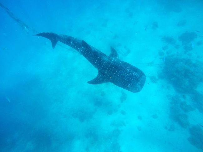 Whaleshark Whalesharkwatching SwimWiththeWhaleSharks Underthesea