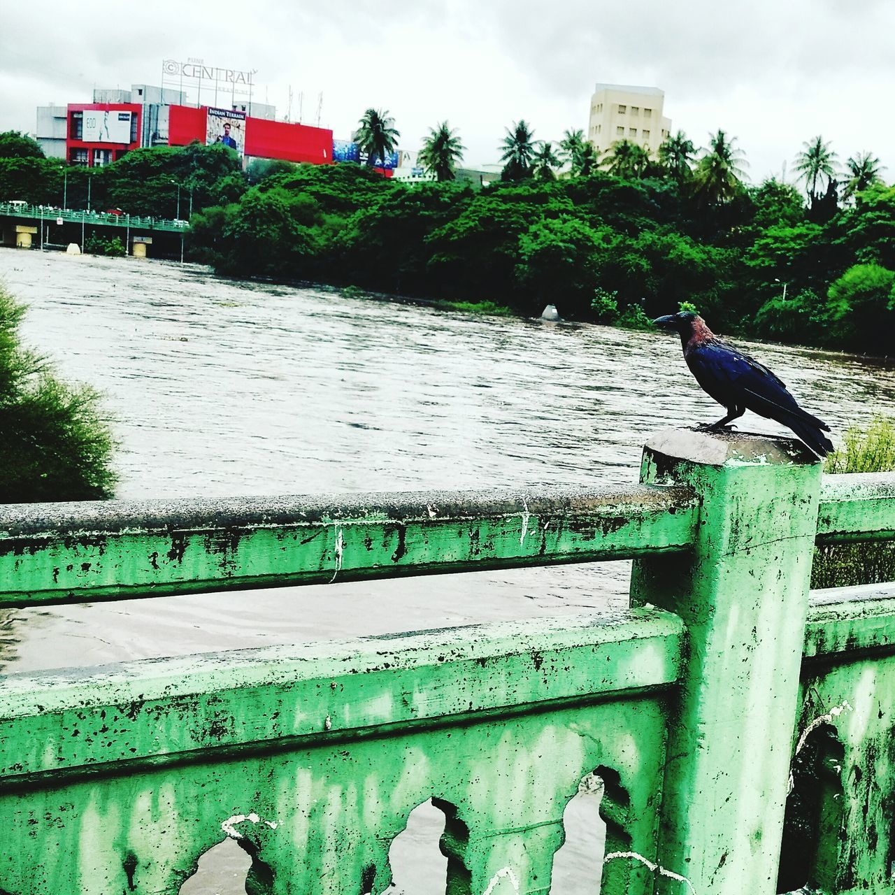 Randomphotography Eye4photography  EyeEm Gallery Crow River River View Riverscape Riverbank Crows Crowded Street Riverside Photography
