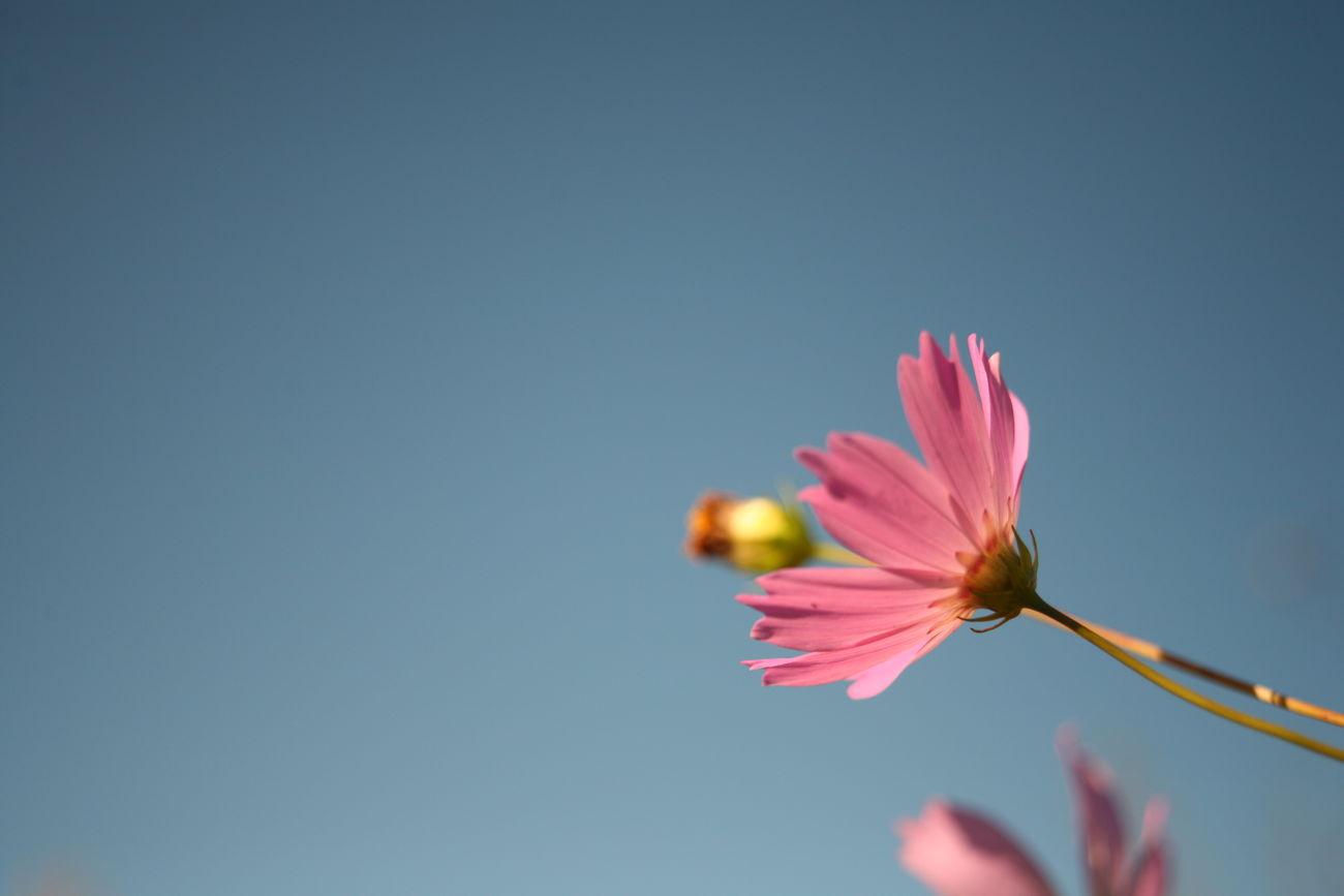 青すぎない青空と秋桜 Autumn 秋 Tamron 09a オールドレンズ Oldlens Eos5d EOS Canon 花 Flower コスモス 秋桜 青空 Sky